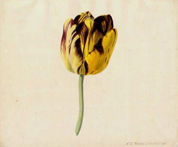 Noorde, Cornelis van (1731-1795)Title:Tulip: Bizard Milord DucDate of creation:1765