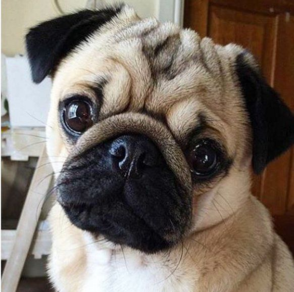 Aww Such A Cute Little Baby Pug I Want Baby Pugs Cute Pugs