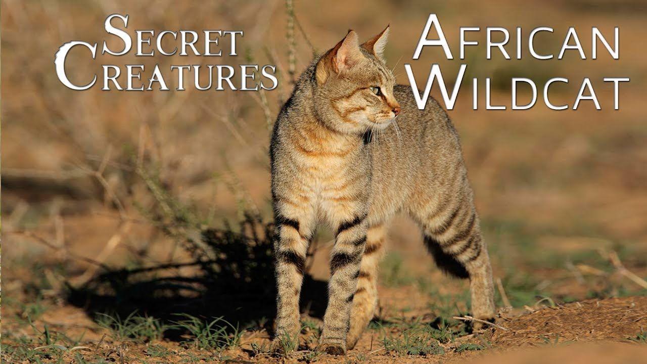 Secret Creatures African Wild Cat African wild cat