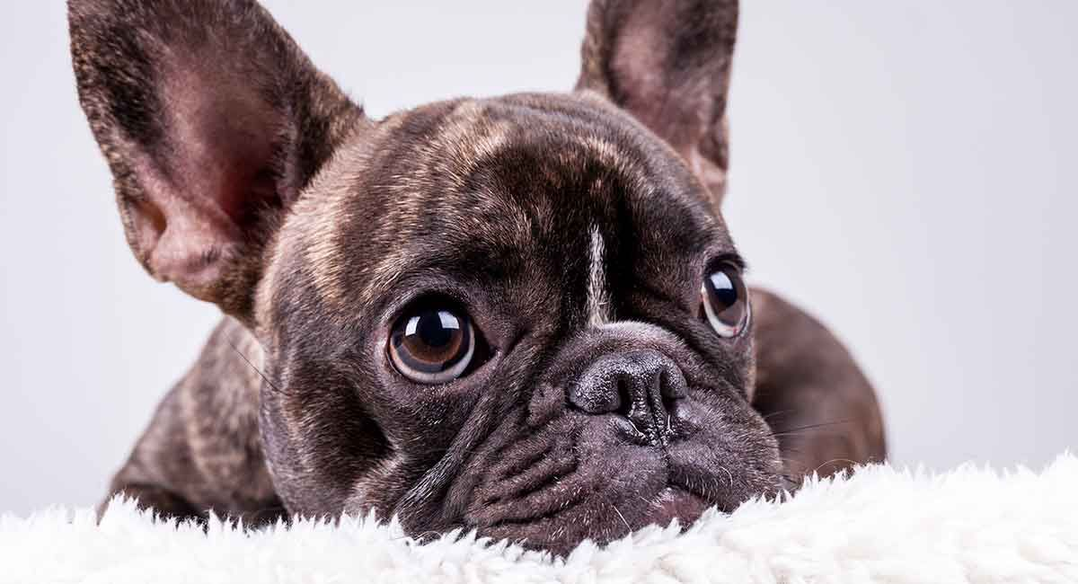French Bulldog Breed Information Center The Complete Frenchie Guide In 2020 Franzosische Bulldogge Bulldogge Franzosische Bulldoggenbabys