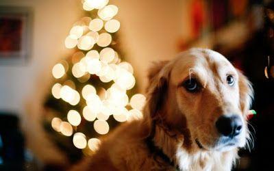 PRANCHRIS: Μπερδεμένος 9χρονος σκύλος, απορεί με τον χριστουγ...