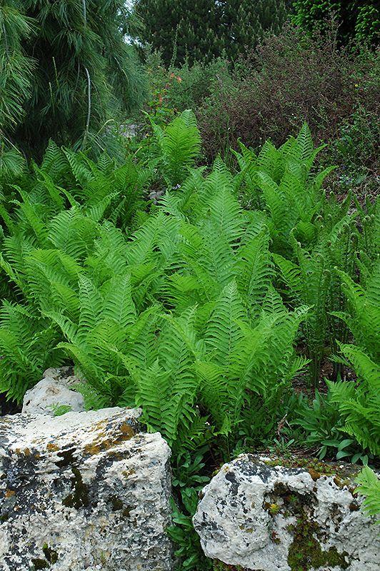 Image result for Ostrich ferns