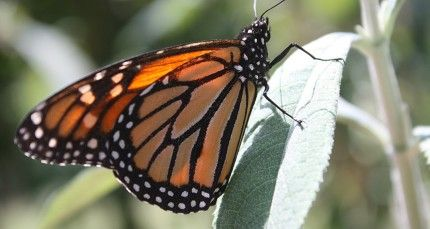 Have You Seen Any Monarchs Yet?