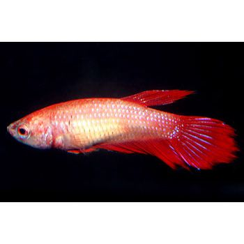Red female veiltail betta the female betta fish arent as pretty red female veiltail betta the female betta fish arent as pretty as the sciox Image collections