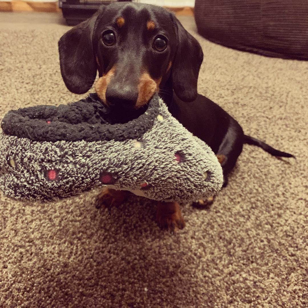 Shoes Sausage dog Dachshund love Dachshund puppy