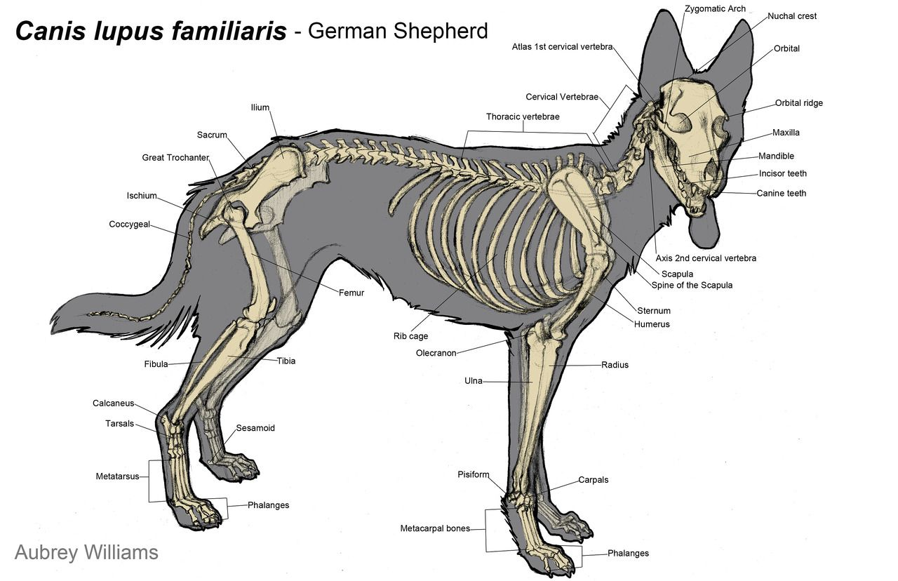 Canis lupus familiaris – German shepherd – Dog skeleton anatomy ...