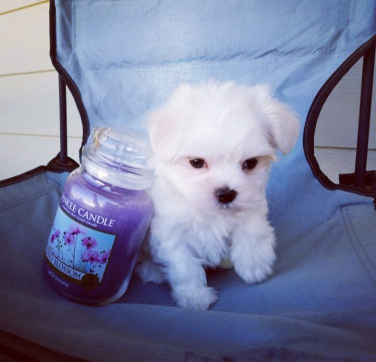Maltese puppy for sale in LOS ANGELES, CA. ADN26966 on