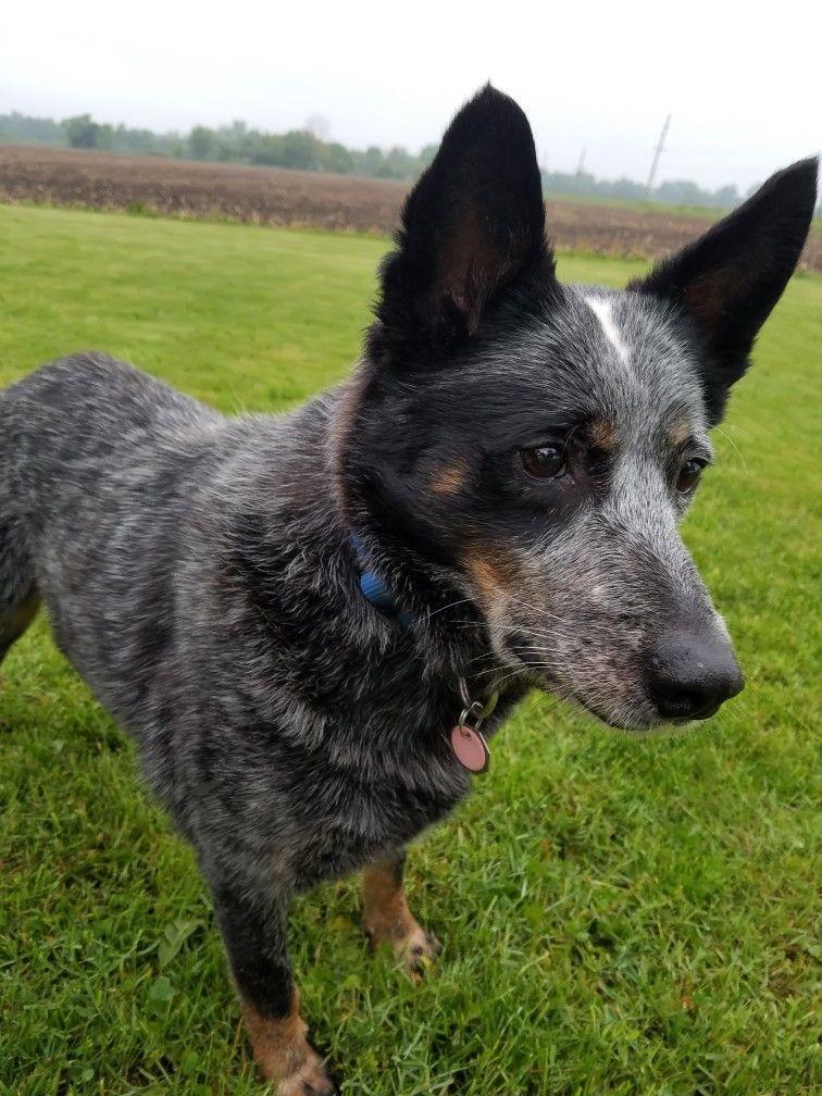 Blue Heeler Such A Handsome Boy Austrailian Cattle Dog Animals