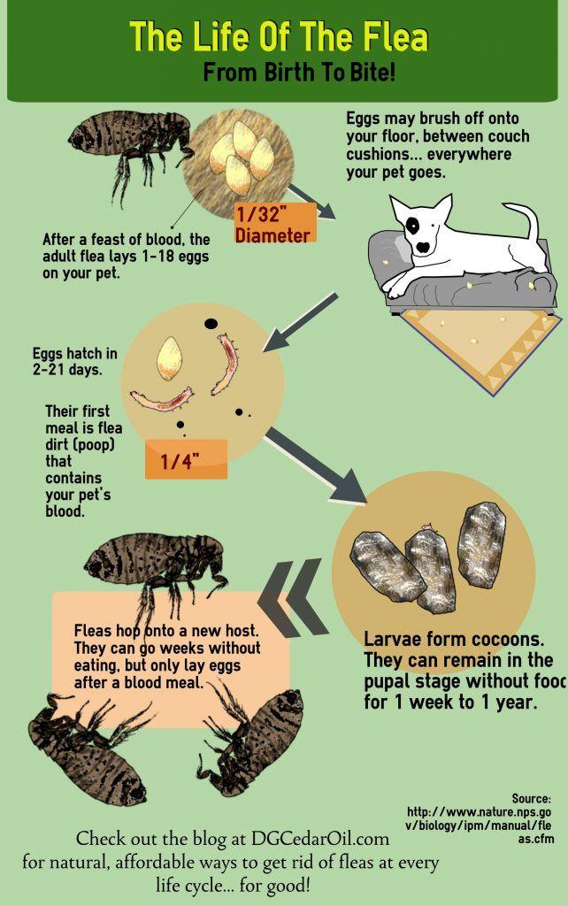 How To Stop A Flea Infestation Naturally Dg Cedar Oil Flea