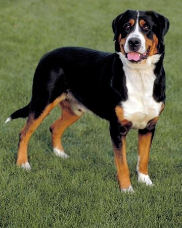 Dog Breeds Good With Children Working Dogs Breeds Mountain Dog Breeds Mountain Dogs