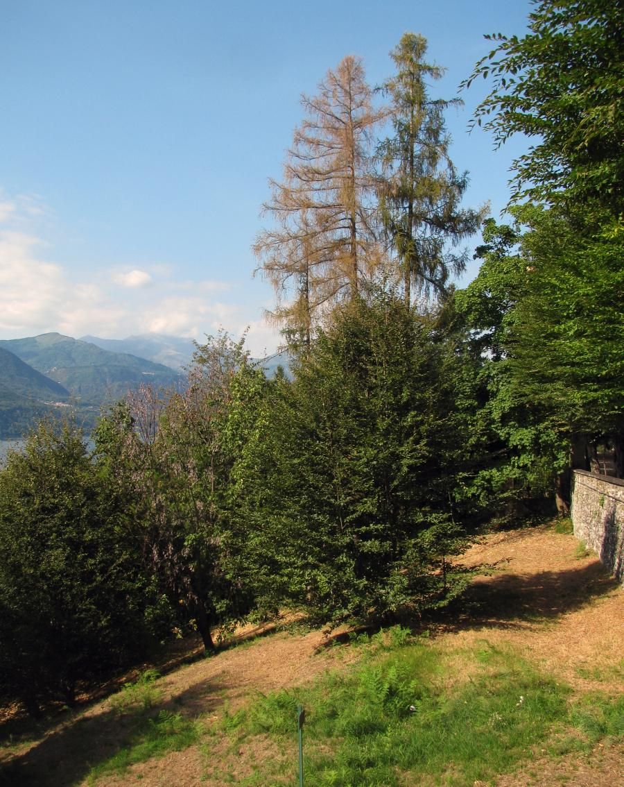 Larches, live and dead, at Sacro Monte, Orta san Giulio, Italy - Pixdaus