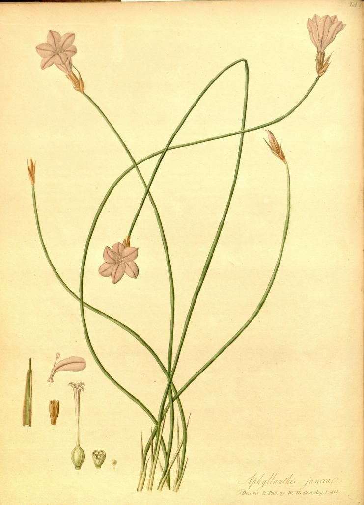 The paradisus londinensis  or coloured figures of plants cultivated in the vicinity of the metropolis  by William Hooker ... Published 1805 [openlibrary.org]