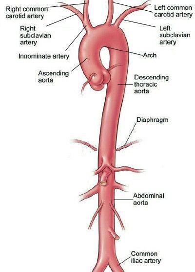 The Aorta | Cardiovascular System | Pinterest | Anatomía