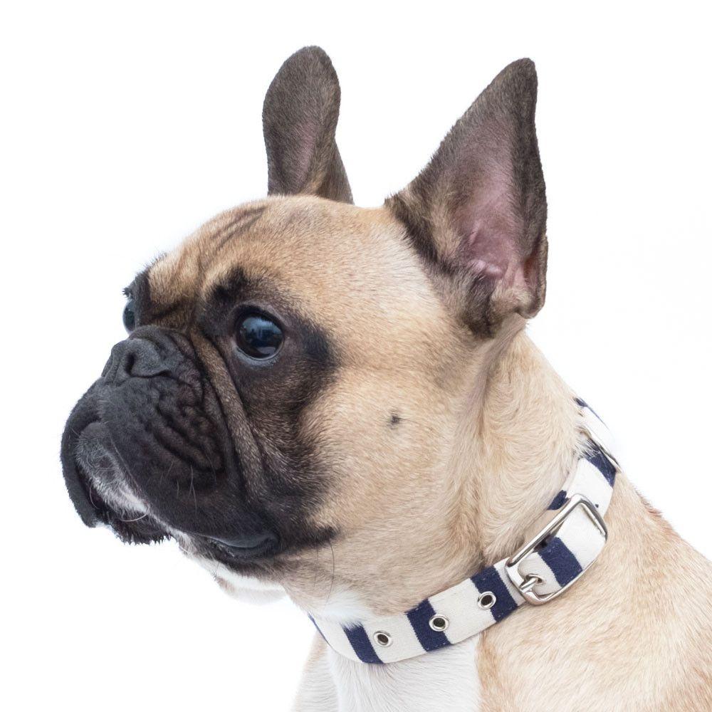 French Bulldog wearing a handmade Breton Stripe Collar. £