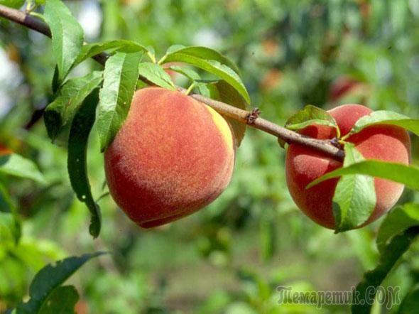 как посадить дерево персика