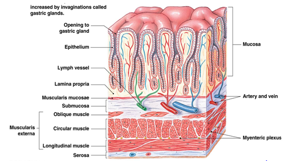 The stomach and wall function very similarly (only a few small ...
