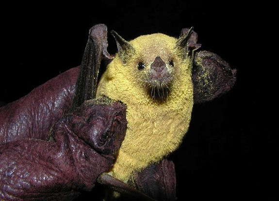 The primary pollinator for the organ pipe cactus is the lesser long-nosed bats, Leptonycteris yerbabuenae. They are an endangered species that migrates each spring into the organ pipe cactus region to feast on cacti pollen, nectar and fruit. The lesser long-nosed bat shown here is covered in yellow cactus pollen.