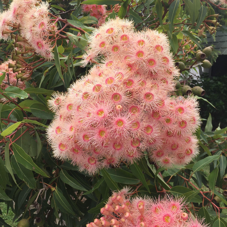 Corymbia Ficifolia Fairy Floss Fairy Floss Mood Board Flowers