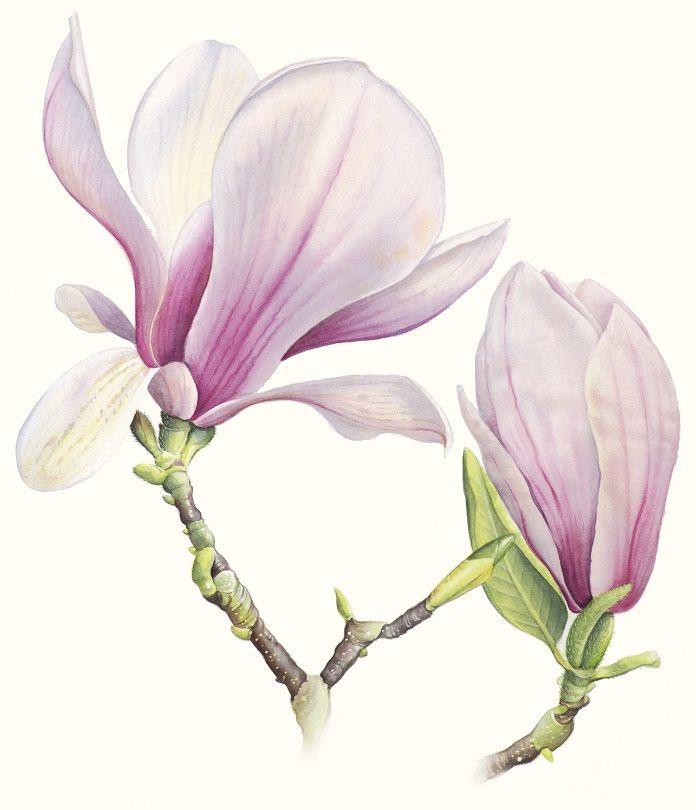 Magnolia Soulangeana, Botanical Illustration, Cheryl Wilbraham, SAA Professional Members' Galleries