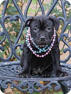 Chandler Az American Staffordshire Terrier Mix Meet Lizzy A