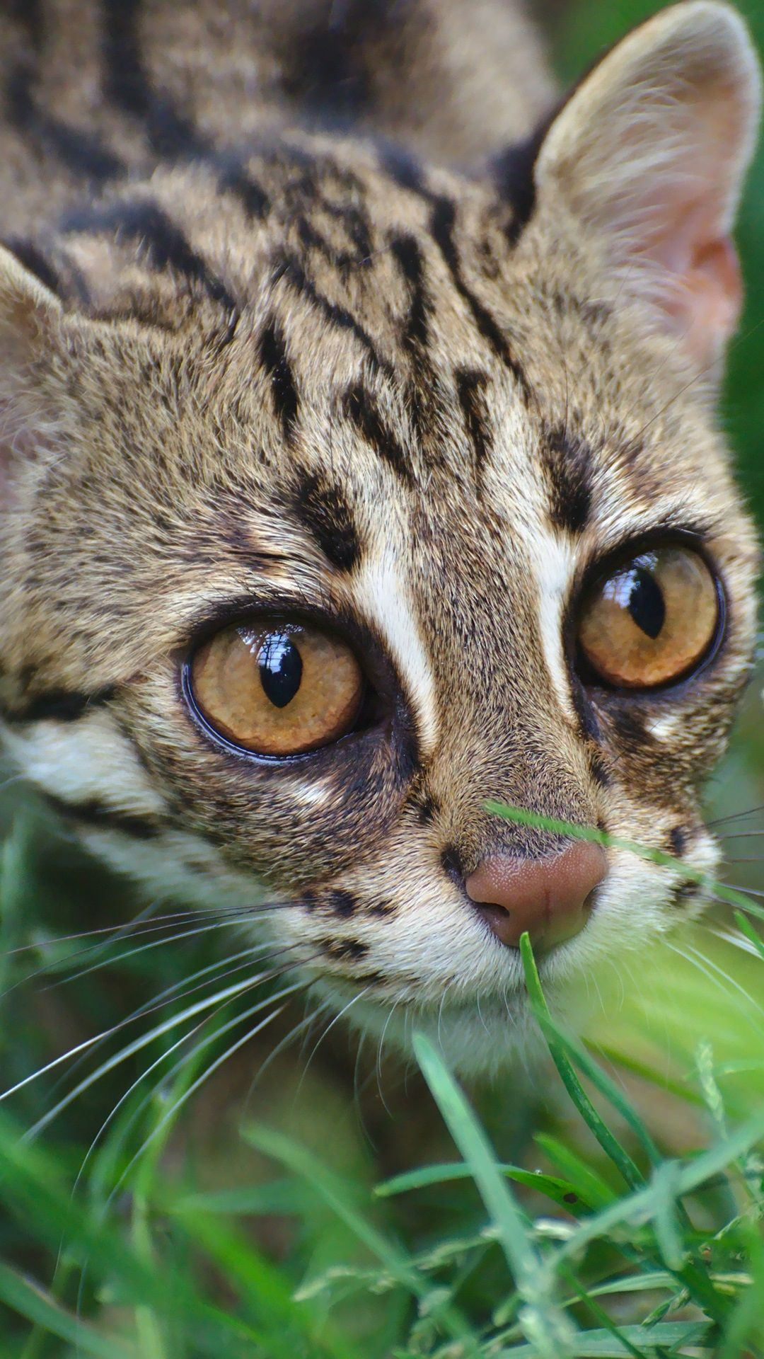 Clouded leopard, wild cat, grass Wild cats, Clouded