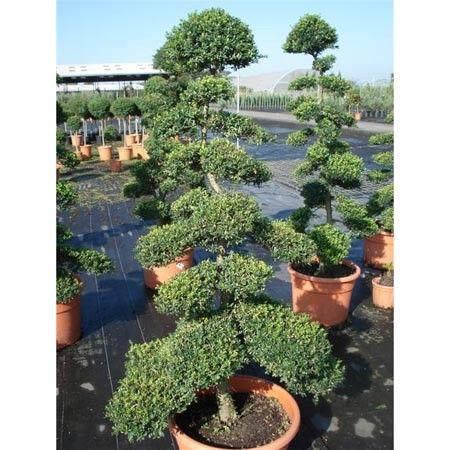 Ilex crenata bonsaï taillé en nuages | Nuage, Bonsaï et Géant