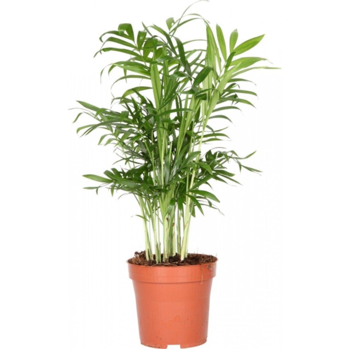 Sirovuoripalmu | Puutarhaunelmia | Pinterest | Planters, Botany and ...