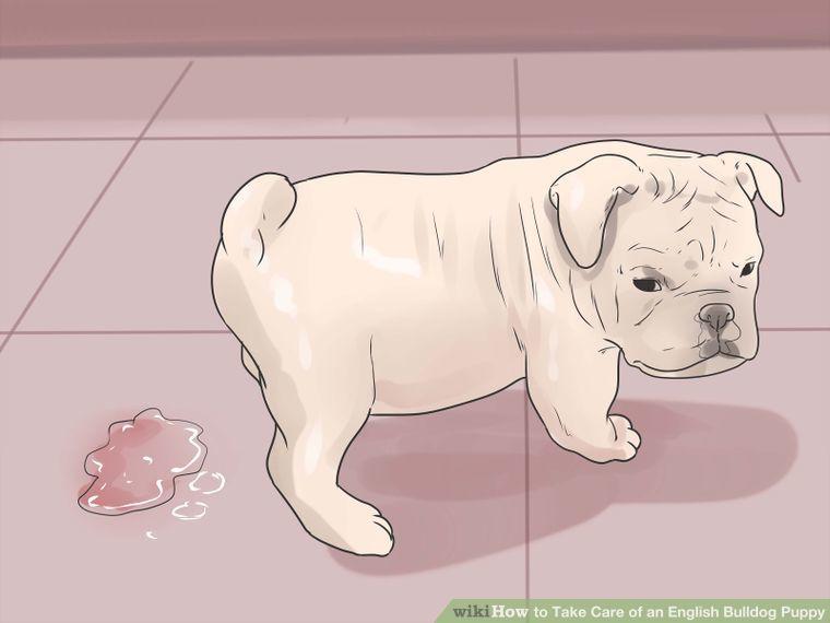 Take Care Of An English Bulldog Puppy English Bulldog Puppies