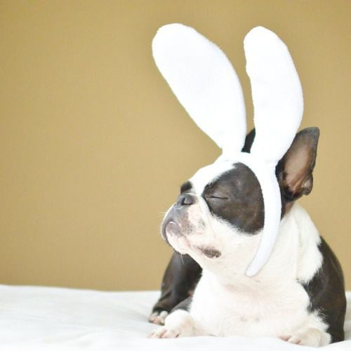 At the Easter Bunny tryouts... #frenchbulldog