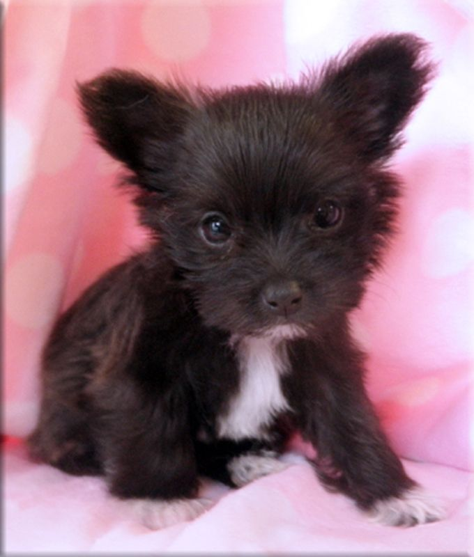 I Want Wednesday Chihuahua Mix Puppies Chihuahua Poodle Mix