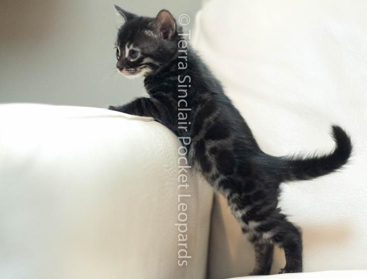 Charcoal Spotted Rosetted Bengal Kitten Charcoal Kittens For Sale Sacramento Ca Bengal Kitten Bengal Cat Bengal Cat For Sale