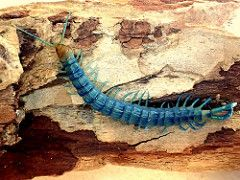 Blue Tiger Centipede Scolopendra polymorpha 'Blue' (bugldy99)