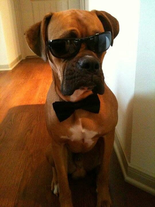Handsome Dog Boxer Dogs Boxer Puppies Boxer Love