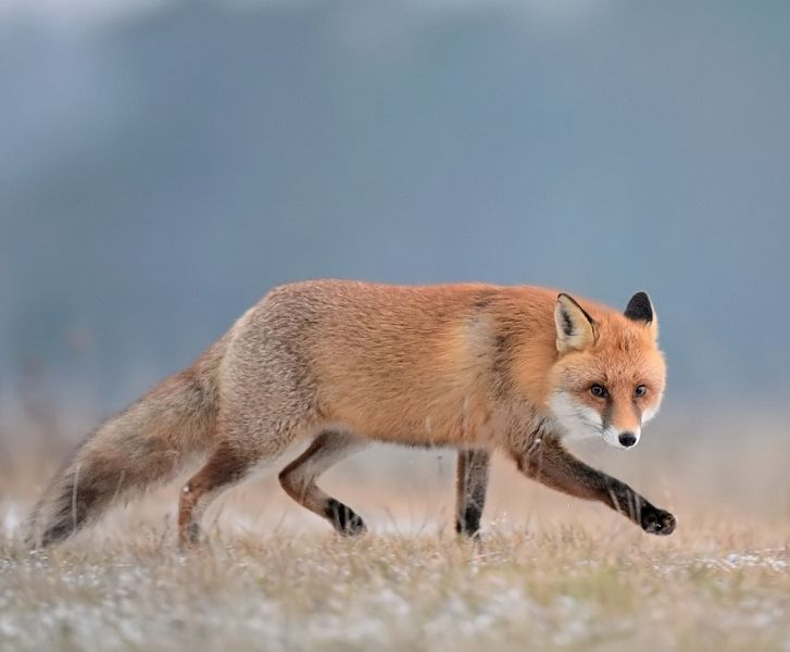 "beautiful-wildlife: "" Rudy by Robert Babisz """