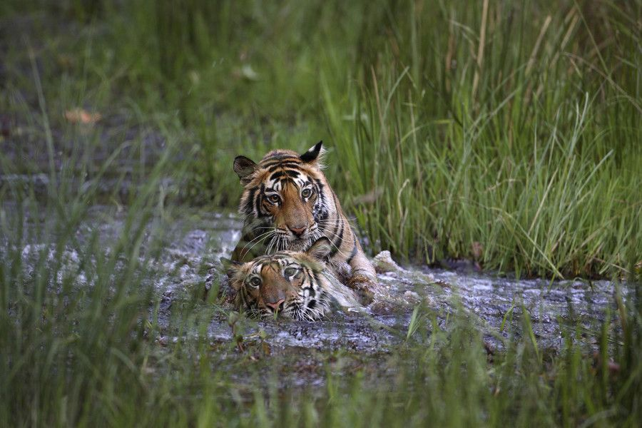 tijger - Google zoeken