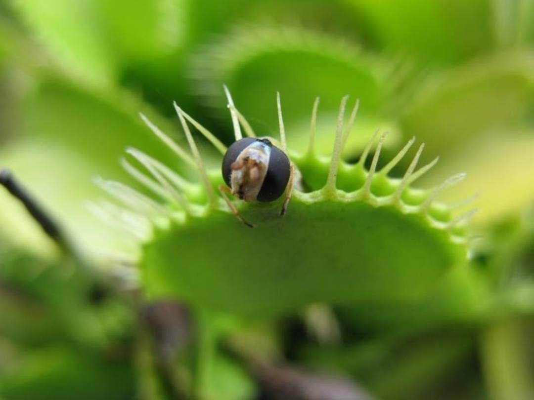 Венерина Мухоловка - растение с ярко выраженной сезонной периодичностью в росте! Для жизни развития и правильного роста ей НЕОБХОДИМО в течении 3-4 месяцев находится при температуре от 0 до 10 градусов! Более высокие температуры приведут к гибели растения в следующем сезоне. = #мухоловка #венеринамухоловка #dionea #Dionaeamuscipula #dionaea #venusflytrap #flytrap #plantswithbite #carnivorousplant #carnivores #carnivoroustagram #carnivorous #ulsk #ульяновск