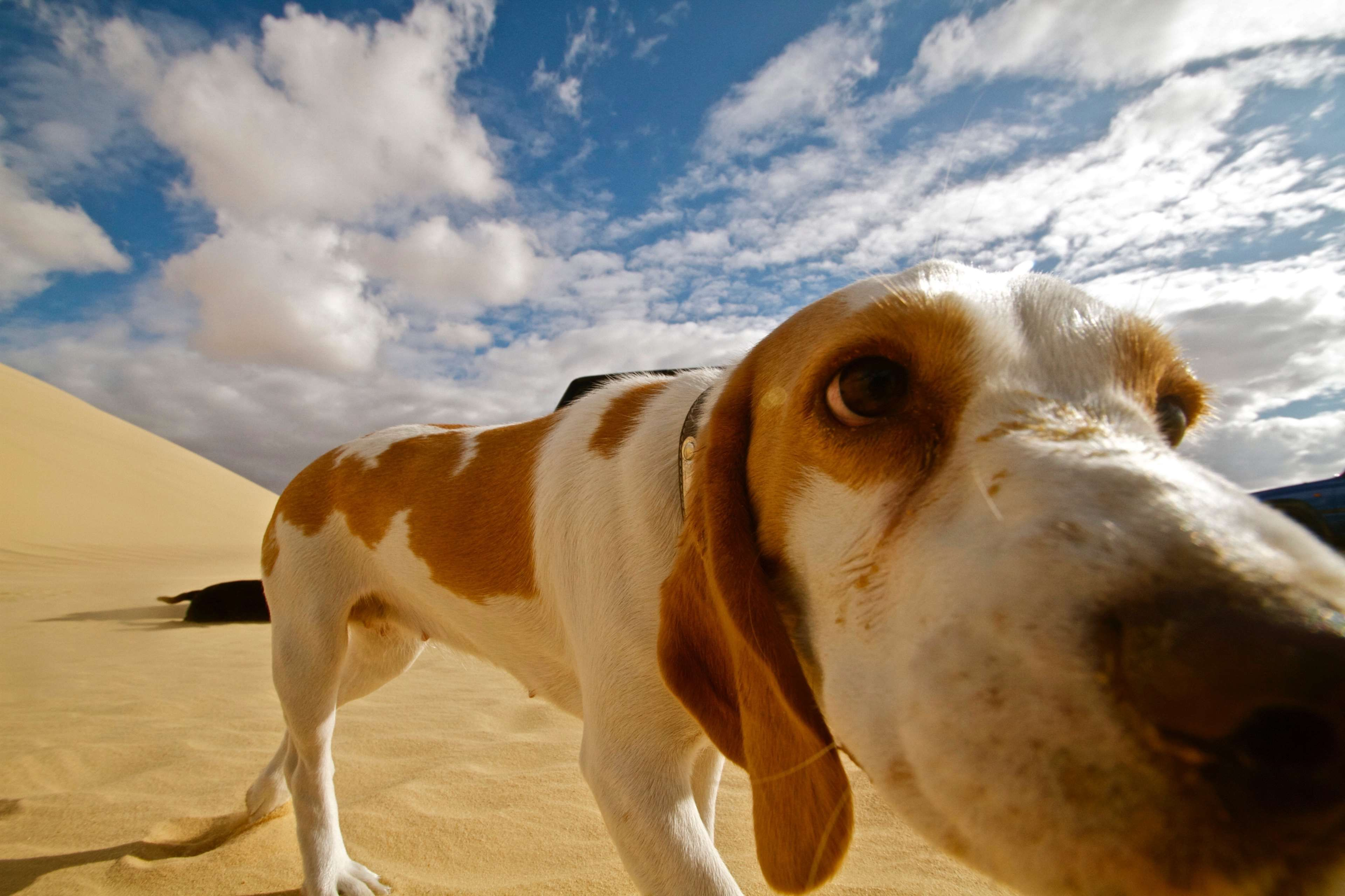 Animal Breed Brown Cute Desert Dog Doggy Friend Friendly Fun Funny Landscape Lovely Nature Outdoor Most Beautiful Dog Breeds Pretty Dogs Animals