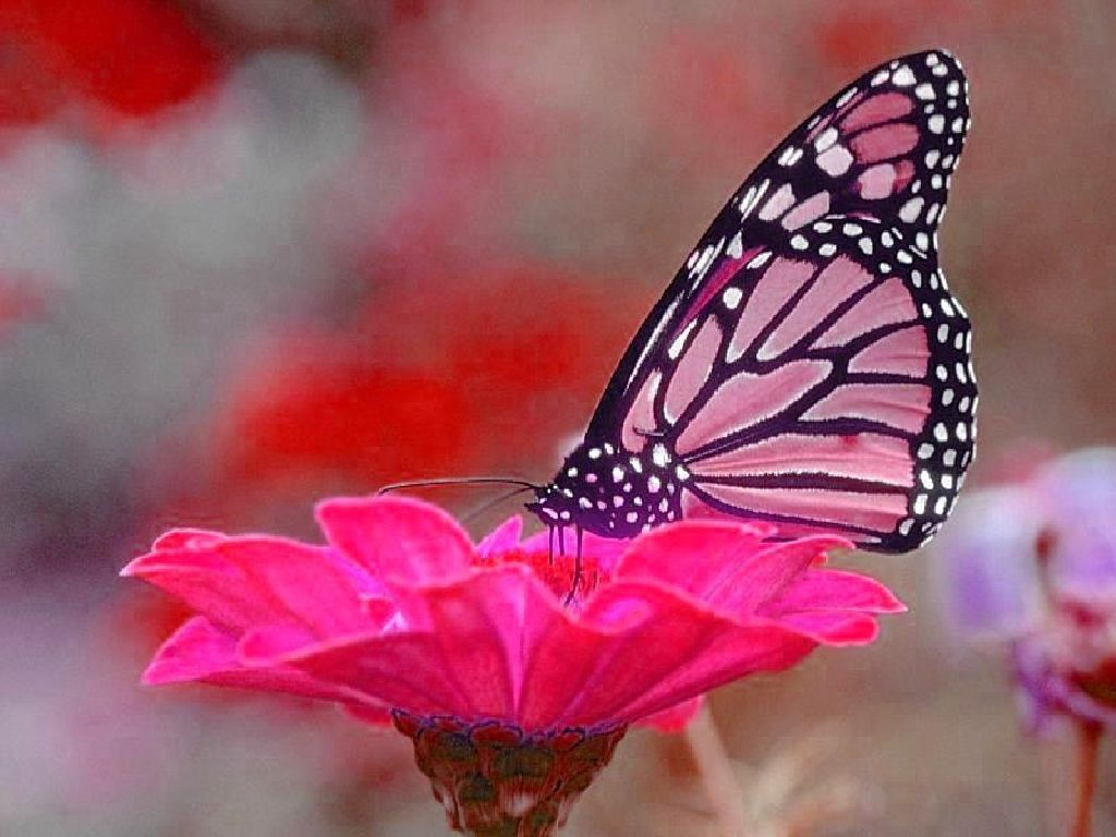 Image detail for Butterfly Wallpaper, Free Butterfly