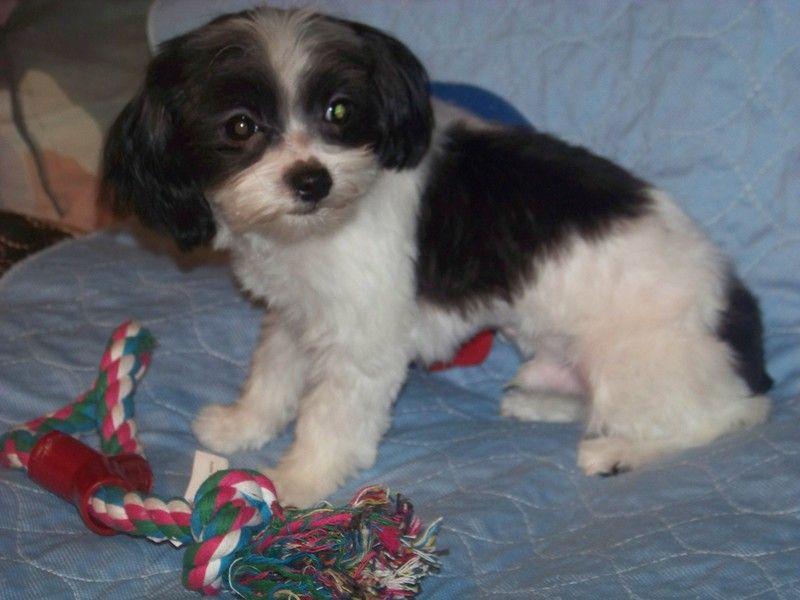 Adopt Prancer Adopted On Small Dog Rescue Maltese Shih Tzu