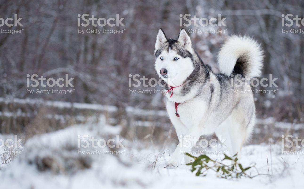 Winter Walk In The Park Siberian Husky Runs On Fresh Snow