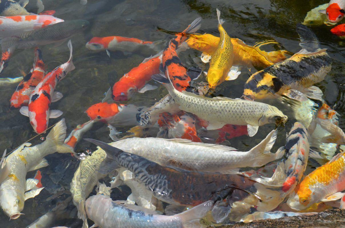 K2 Bio Media K3 Bio Media Koi Pond Air Pumps Contact Koi Fish For Sale Koi Fish Care Koi Fish