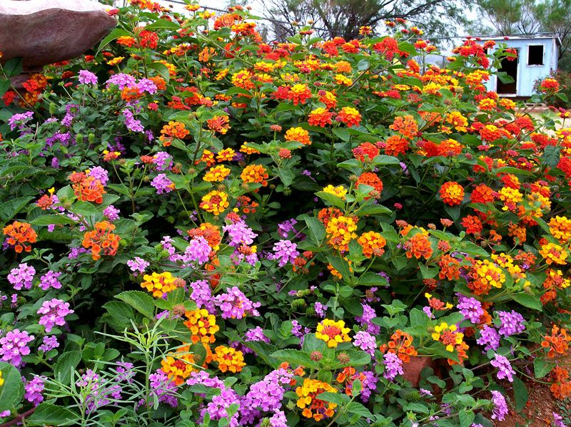 Smartscape Plant Details Texas Lantana Survives Drought Easy To Grow Different Colors Grow Differently Will Bloom Nearly All Year Ap Plants Winter Garden Texas Landscaping