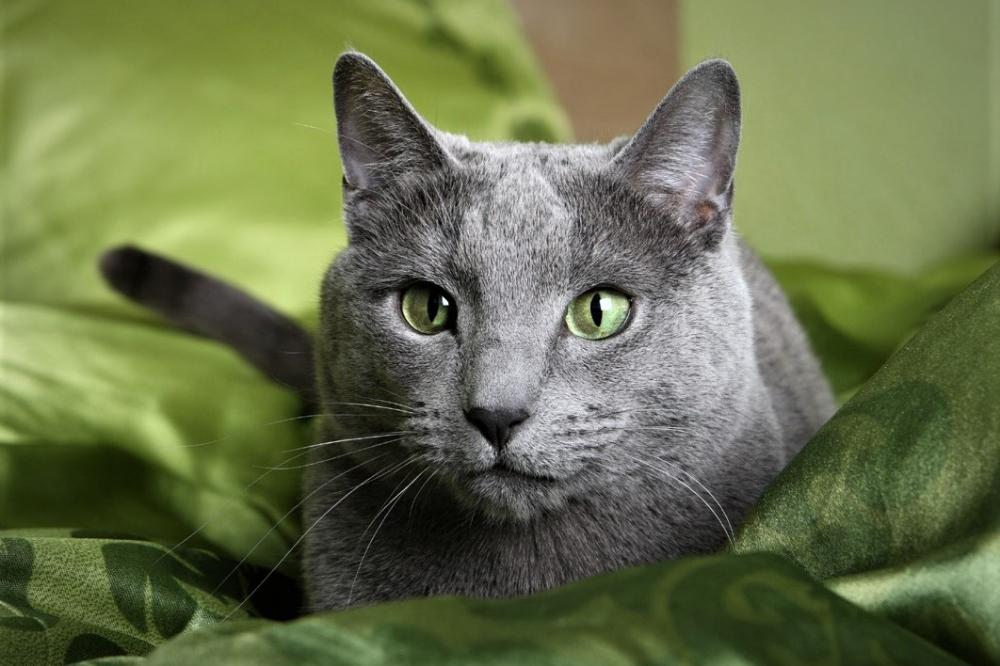 Hyperthyroidism in Cats Feline hyperthyroidism, Thyroid