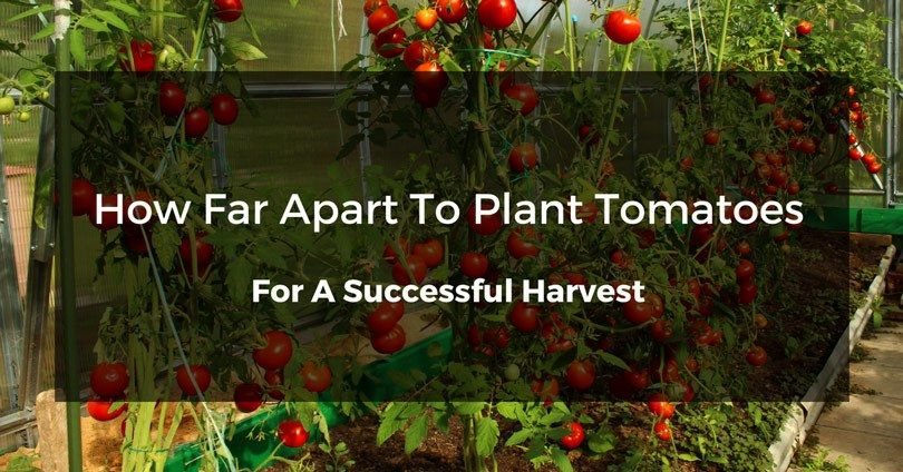 how far apart to plant tomatoes in a greenhouse