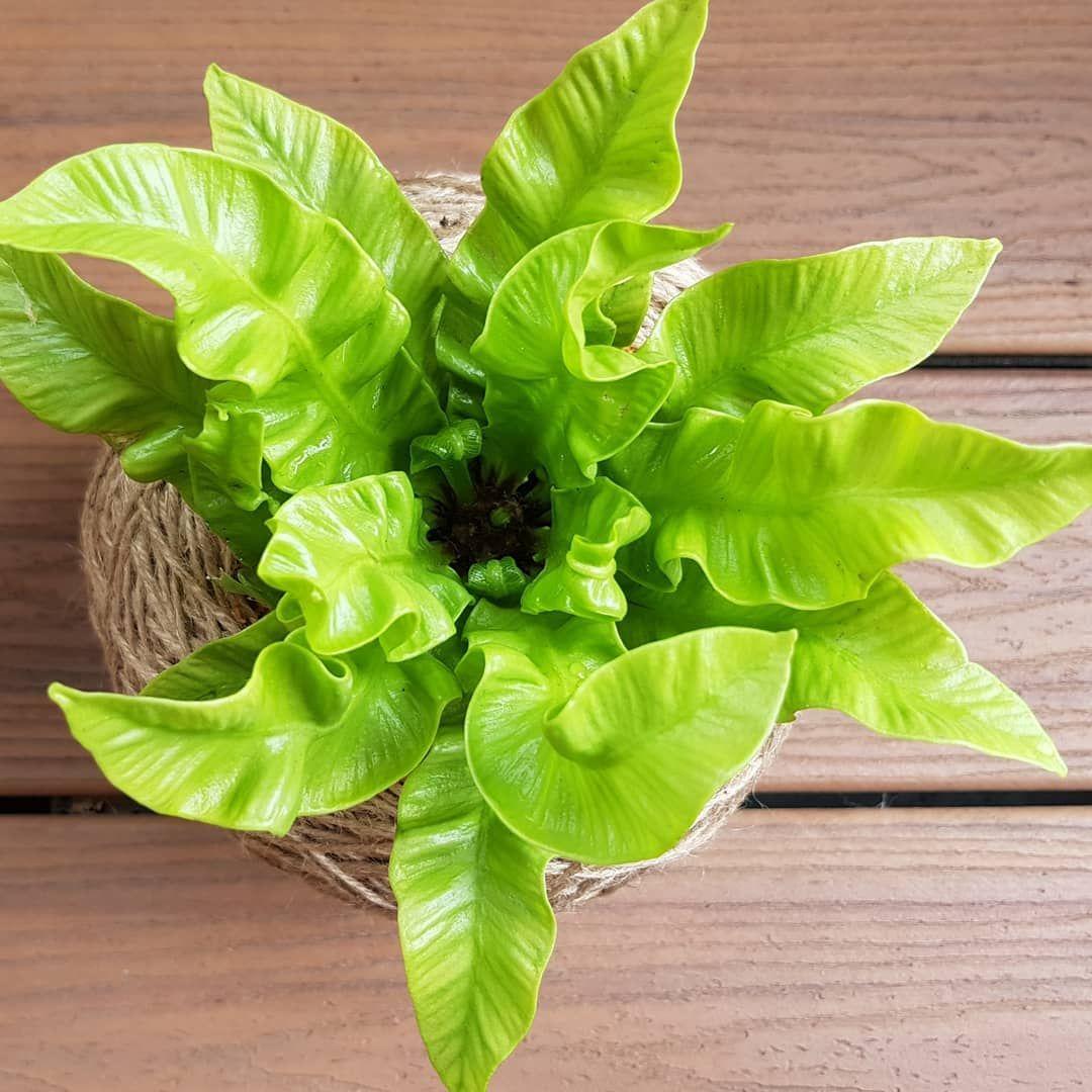 crispy wave crispy wave fern japanese fern asplenium nidus
