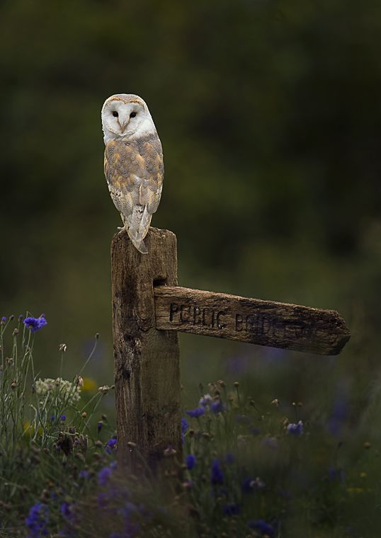 Barn owl hunting - by Mark Davies. S)