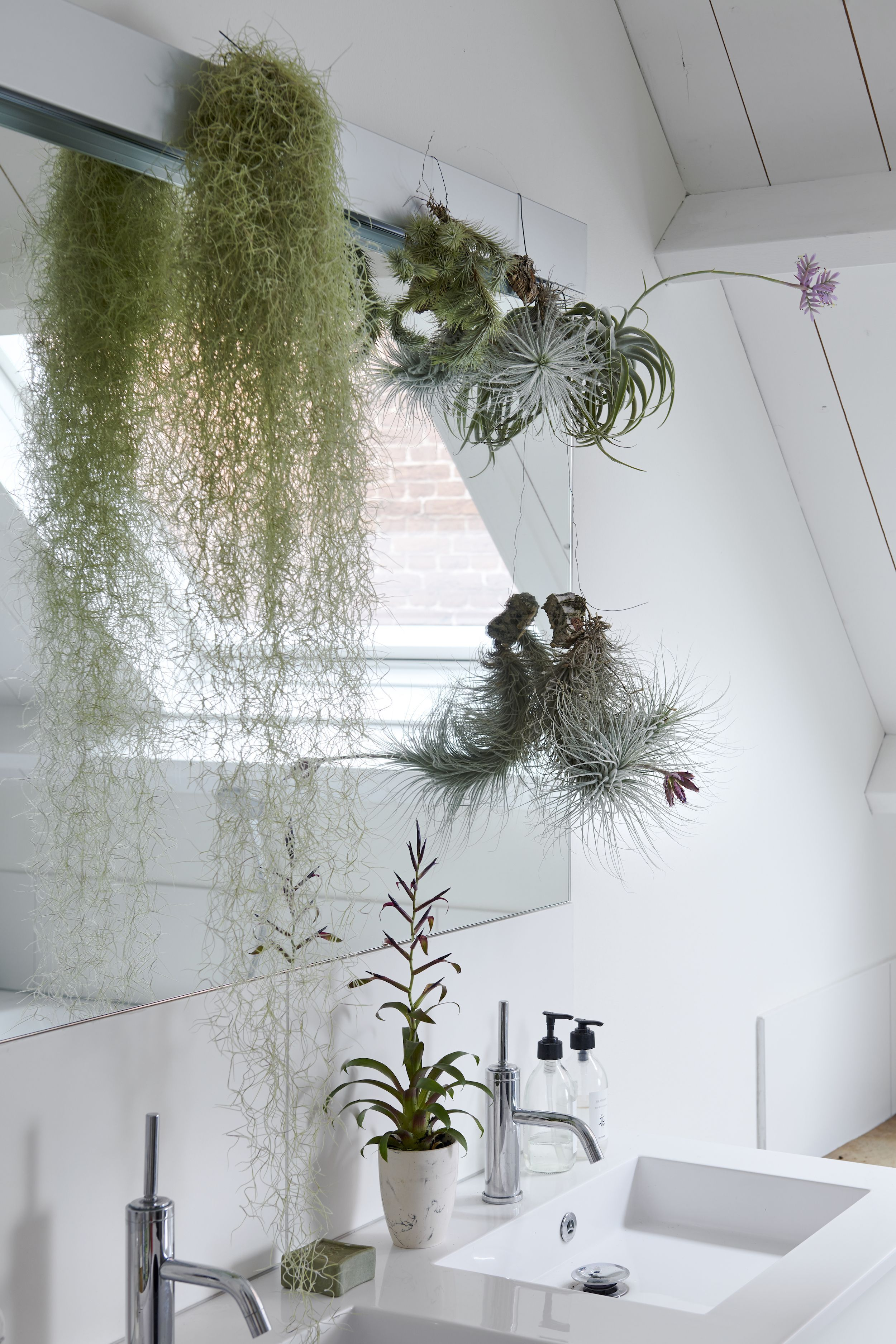 Bathrooms plants - A variation of Tillandsia in the bathroom