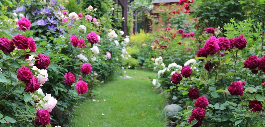 Jubilee Celebration,Munstead Wood,Pierre de Ronsard,The Dark Lady ,Сrocus rose и далее...