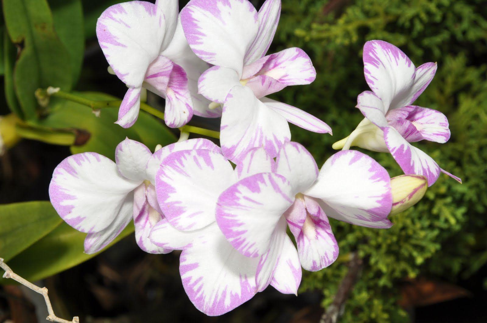Blue dendrobium orchids dendrobium enobi purple