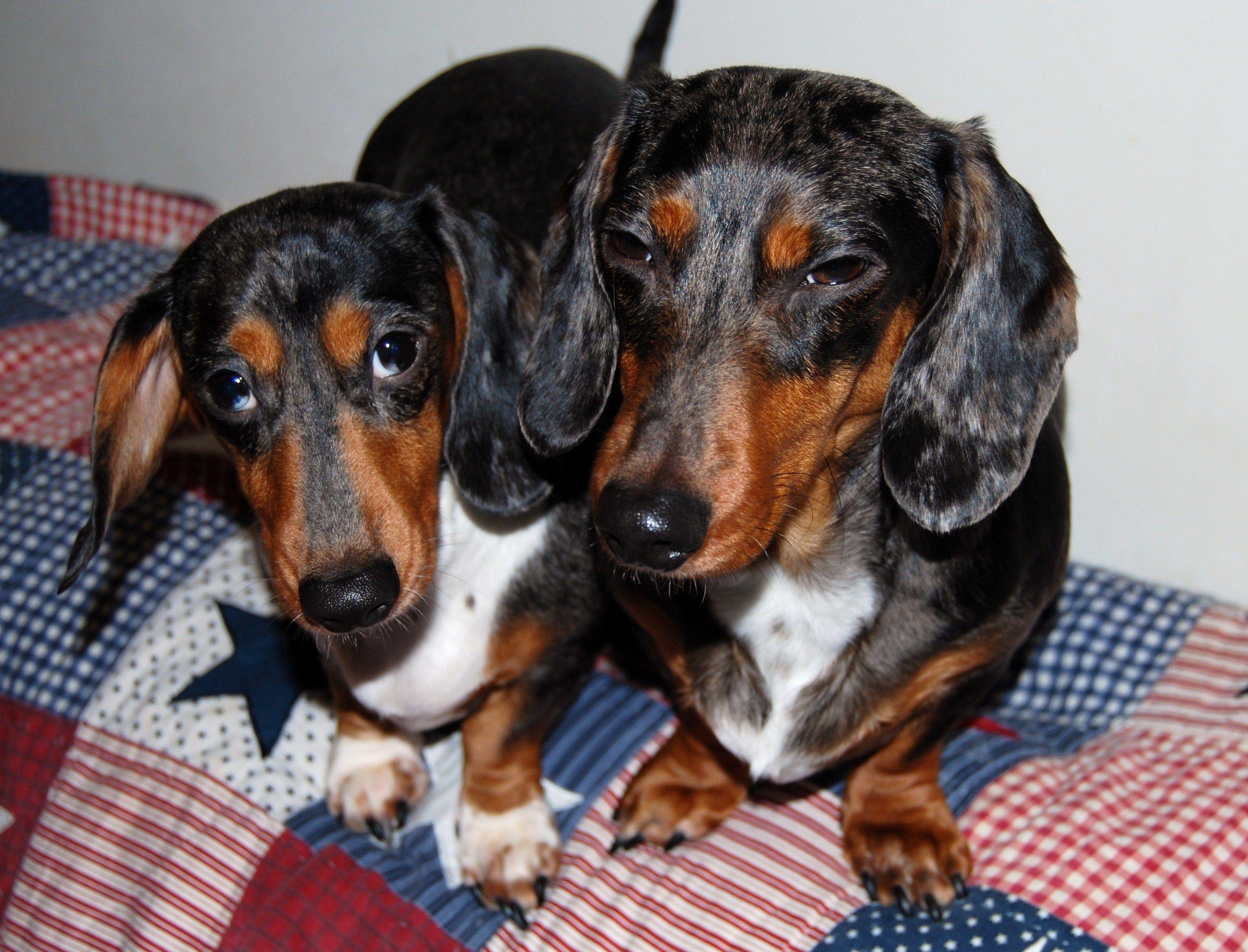 Winnie And Chewie Dapple Dachshund Dachshund Cute Animals
